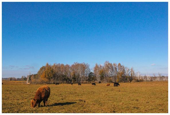 Scottish Highland Rinder 7248
