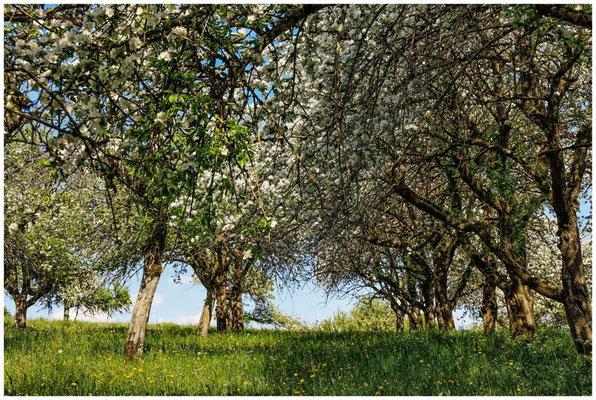Streuobstwiese mit blühenden Apfelbäumen 2706