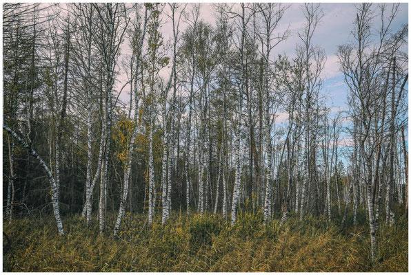 Moorbirken im Wurzacher Ried 3922