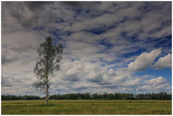 Moorbirke im Ried bei Bad Buchau 3270