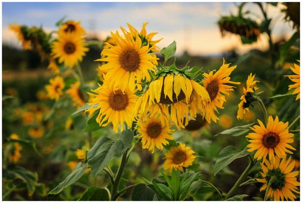 Sonnenblumen 0412