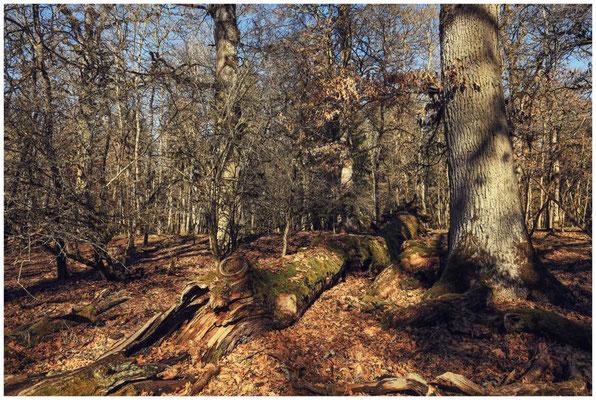 Bäume im Unterhölzer Wald 6203