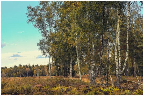 Birken- und Fichtenwald mit Besenheide im Schwenninger Moos 4154