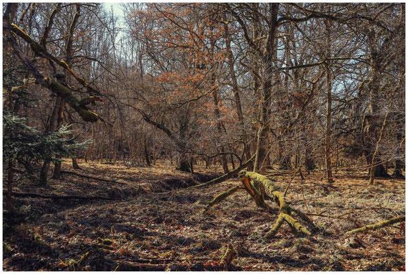 Bäume im Unterhölzer Wald 6168