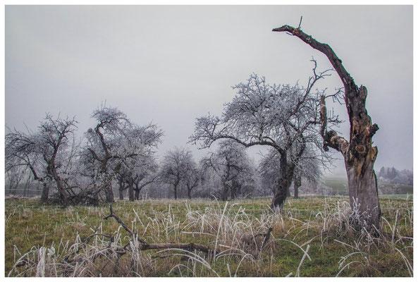 2065 Obstbäume mit Raureif bei Mahlspüren im Hegau