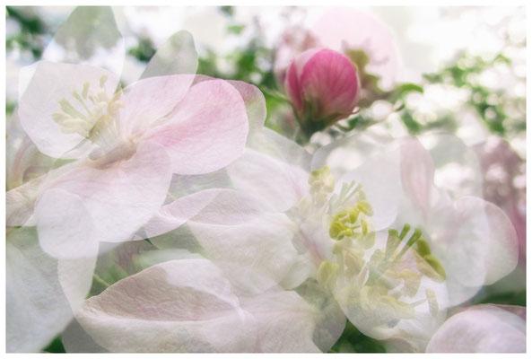 Apfelblüten auf einer Streuobstwiese bei Bermatingen 3472