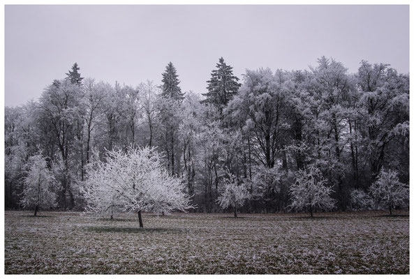 2203 winterliche Bäume mit Raureif