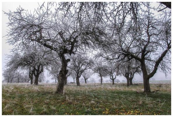2069 Obstbäume mit Raureif bei Mahlspüren im Hegau