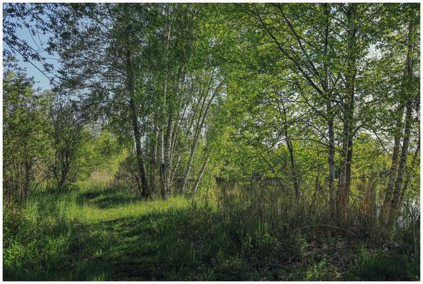 Frühlingslandschaft mit Moorbirken 7461