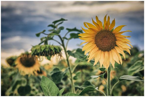 Sonnenblumen 0402