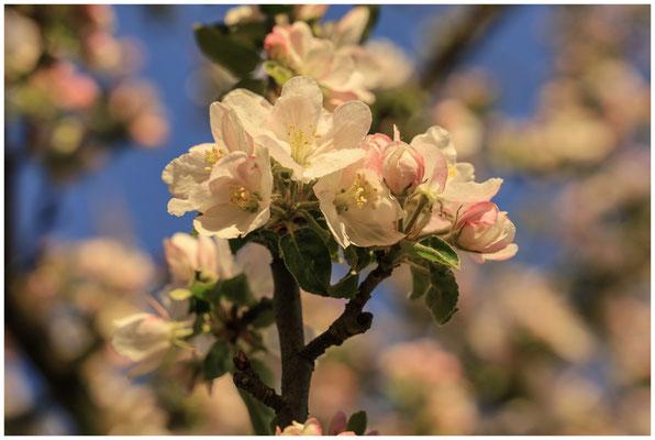 Apfelblütenzweig 2482