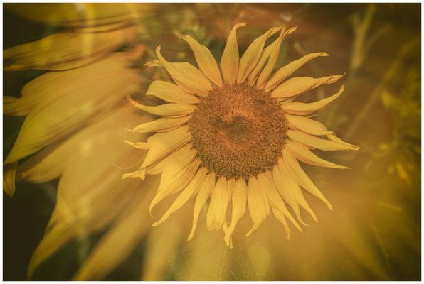 Sonnenblume 0298