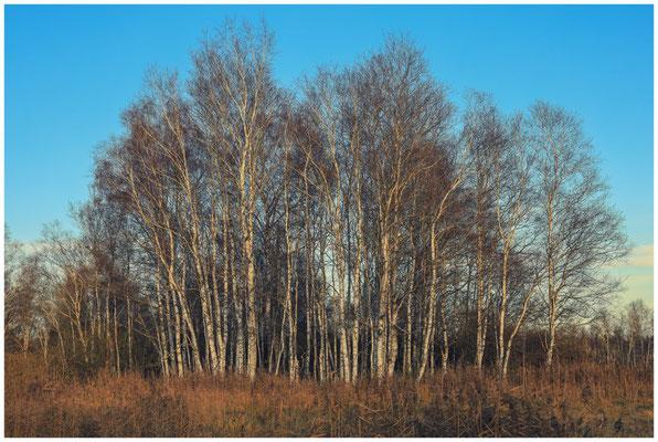 Birken im Pfrunger-Burgweiler Ried 5049