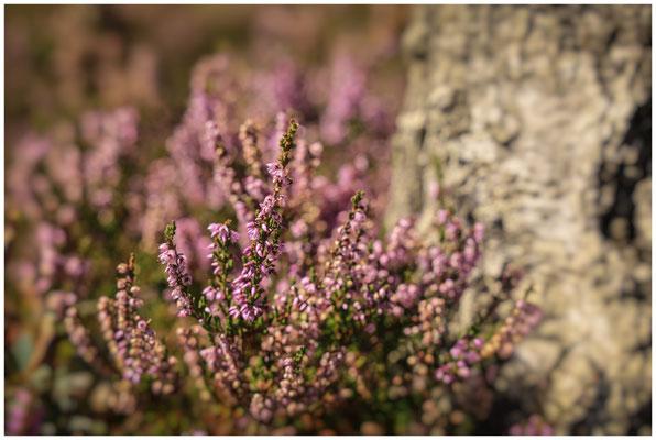 Blühende Besenheide vor Moorbirkenstamm 3866