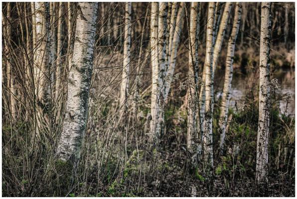 Birken am Großen Vogelsee 5033