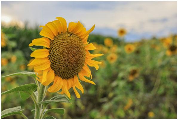Sonnenblumen 0374