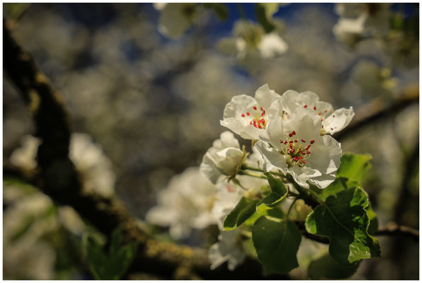 Birnenblüten 2401