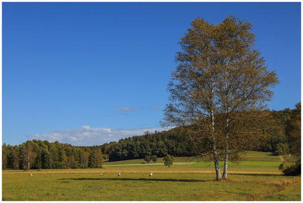 Landschaft im Pfrunger-Burgweiler Ried mit Störchen 4406