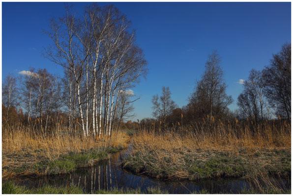 Landschaft mit Birken und Wassergraben im Pfrunger-Burgweiler Ried 6647