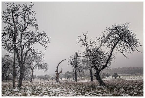 Winterliche Streuobstwiese mit Raureif 2540