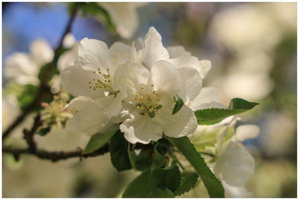Apfelblüte 2615