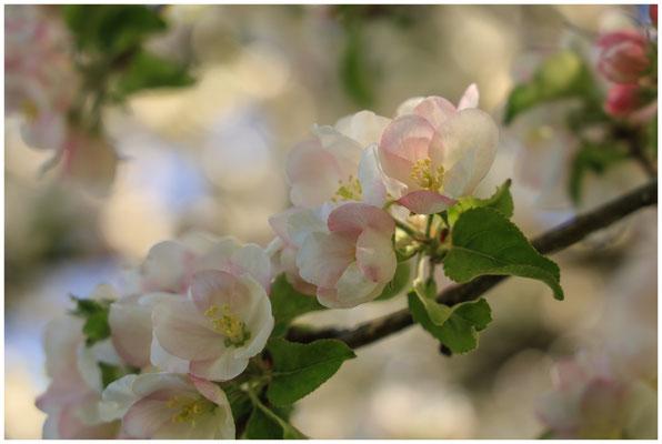 Apfelblüte 2662