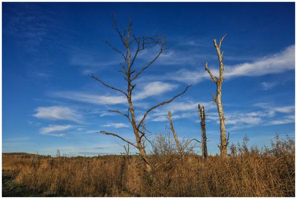 Abgestorbene Bäume im Pfrunger-Burgweiler Ried 5009