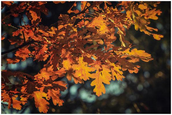 Herbstliches Eichenlaub 4598