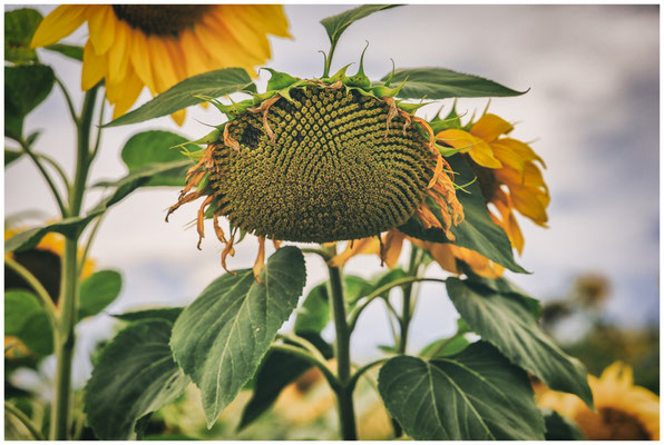 Sonnenblume 0381