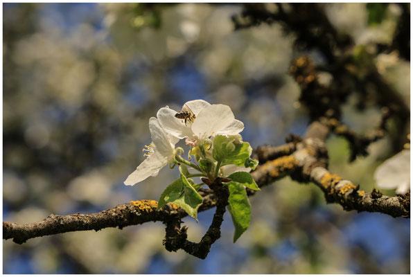 Apfelblüte mit Biene  2715