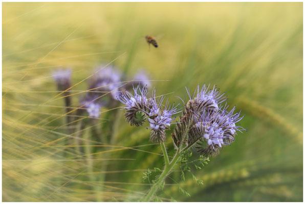 Phacelia und Getreide mit Biene 3077