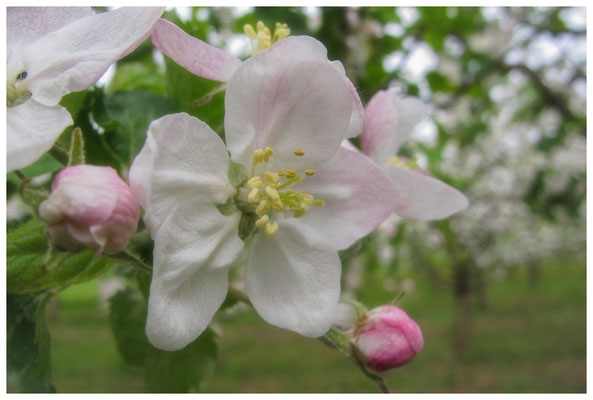 Apfelblüten auf einer Streuobstwiese bei Bermatingen 3468