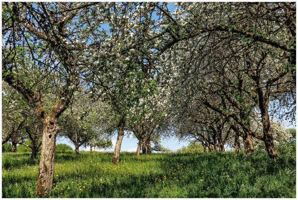 Streuobstwiese mit blühenden Apfelbäumen 2705