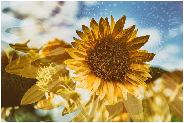 Sonnenblume 0299