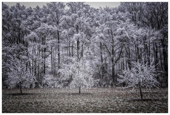 2192 winterliche Bäume mit Raureif