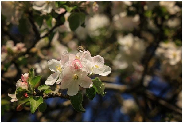 Apfelblüte mit Biene 2691