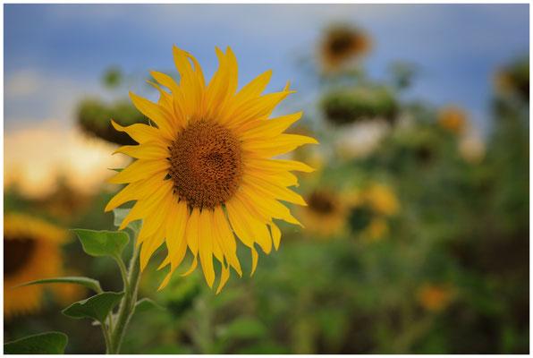 Sonnenblumen 0404