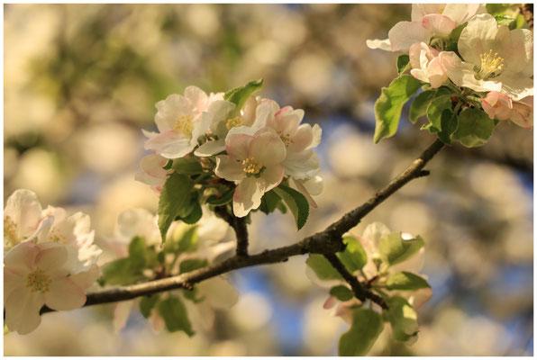 Apfelblüte 2574