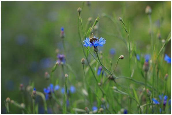Kornblume mit Biene 0311