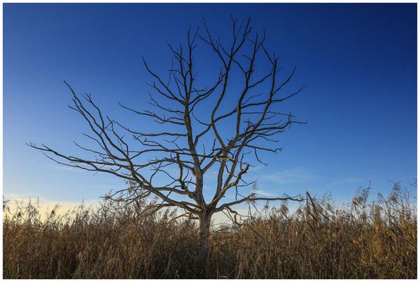 Abgestorbener Baum im Pfrunger-Burgweiler Ried 5001