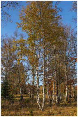 Birken im Irndorfer Hardt - Donautal 1415