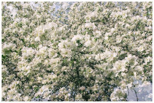 Blütenmeer 3520