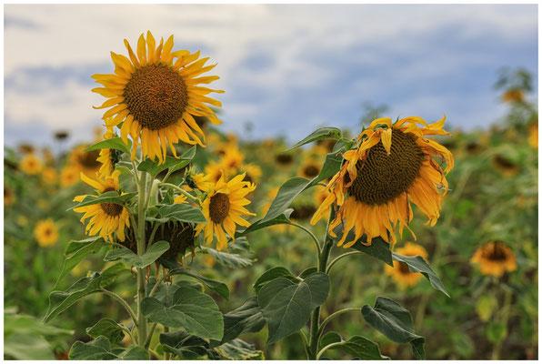 Sonnenblumen 0366