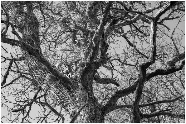 Alter Baum im Unterhölzer Wald 6215