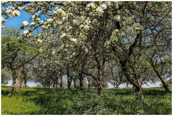 Streuobstwiese mit blühenden Apfelbäumen 2702