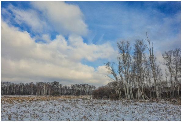 Landschaft mit Moorbirken im Pfrunger-Burgweiler Ried 5500