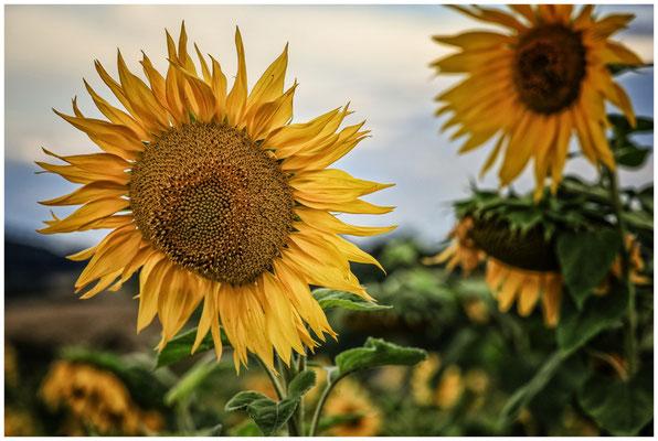 Sonnenblumen 0419