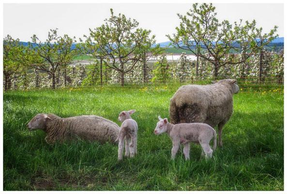 Schafe mit Jungtieren bei Bermatingen 3445
