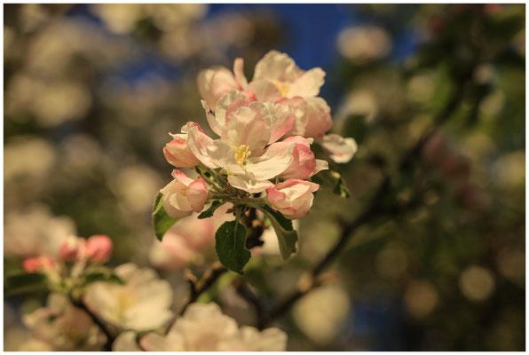 Apfelblüte 2563