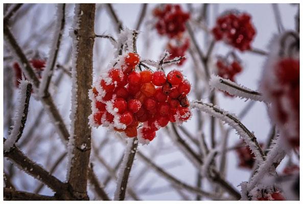 Rote Beeren des Gemeinen Schneeballs 2571